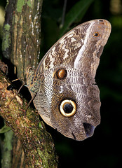 Owl Butterfly photo by cowyeow