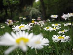 margherite in giardino photo by ΞSSΞ®®Ξ