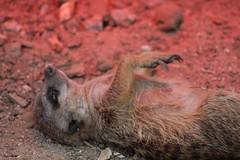 The Lazarus meerkat photo by dididumm