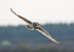 Short-eared Owl (Explored) photo by Darren Olley (offline)