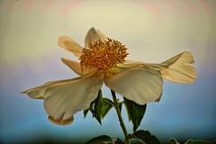 Flower photo by Evangelio Gonzalez MD