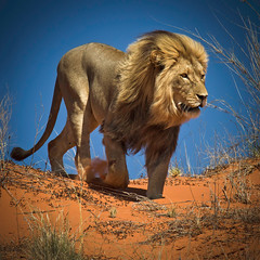King of the Kalahari Desert photo by Ania.Photography