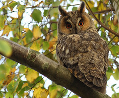 Long-eared owl, ransuil (asio otus) photo by Pepijn Hof