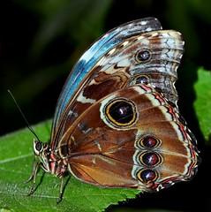 Blue Morpho : A Close Encounter photo by pallab seth