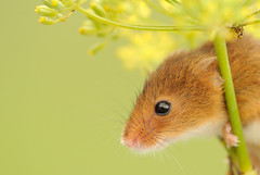 Harvest mouse [Explored] photo by amylewis.lincs