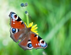 Butterfly photo by jmhuttun