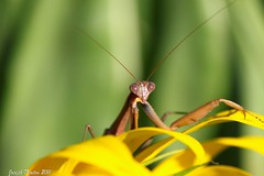 Mantis (Explored) photo by shoot that!