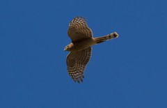 Sparrowhawk      ......./Explore :-)) photo by Mark Eggleton
