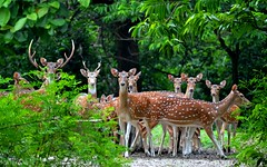 The Spotted Deer of Bethuadahari photo by pallab seth
