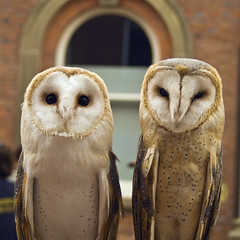 Barn Owl (Tyto alba) photo by Charliebubbles