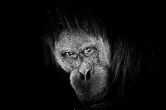 Orang-outang_orangutan photo by pattoise