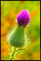 Thistle photo by - M i c h a e l -