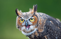 Birds of Prey Show (Horned Owl, Mont Tremblant, Quebec) photo by VLADIMIR NAUMOFF