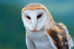 North American Barn Owl photo by VLADIMIR NAUMOFF