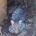 Morelia Zoo ~ Ocelot