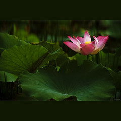 Beautiful Lotus photo by -clicking-