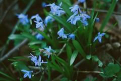 Roadside blues photo by Picea abies