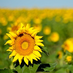 Another From the Sunflower Field photo by Julie Rideout