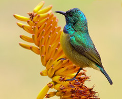 Beija-flor-de-colar / Collared Sunbird photo by António Guerra