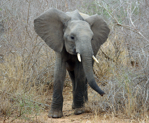 Juvenile Elephant photo by masaiwarrior