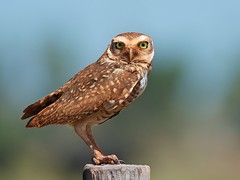 Burrowing Owl (Athene cunicularia) photo by PeterQQ2009