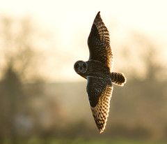 Short-eared owl in flight (Explored) photo by Darren Olley (not online much)