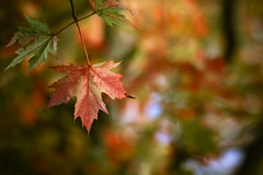 ...maple leaf... photo by Numan Q.