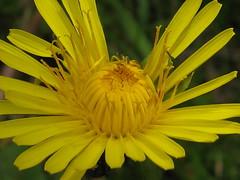 Dandelion unfolding