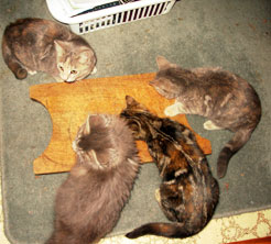 All four kittens hoping for more food