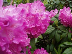 Ella's Rhododendrons