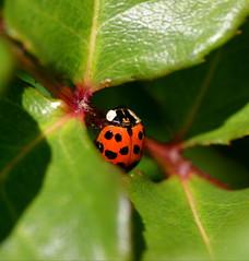 Ladybug Series:  Shy