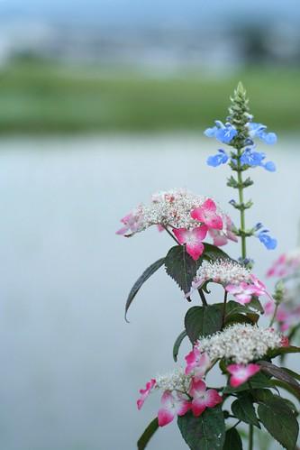 畦の紫陽花