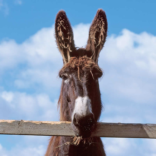 donkeysears