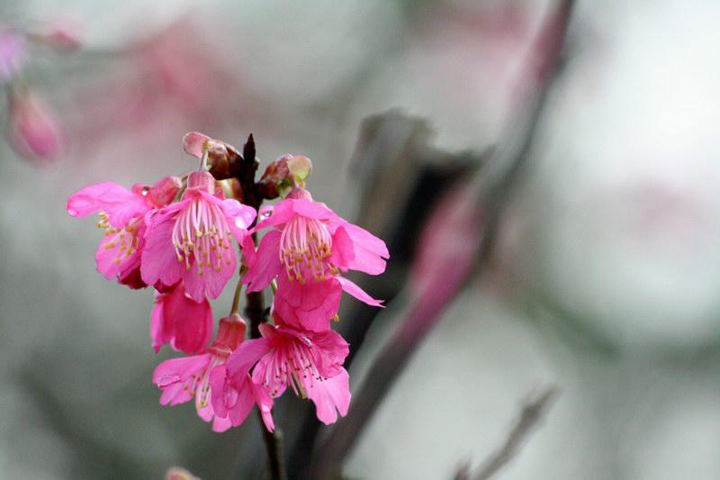 已經開了的櫻花聚集成簇