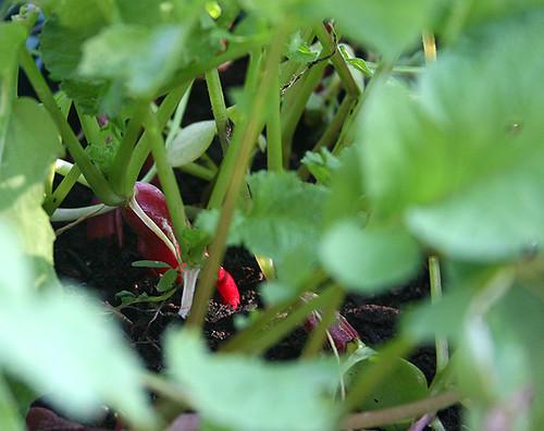 Deck Garden (7-1-06) - 5 - radishes