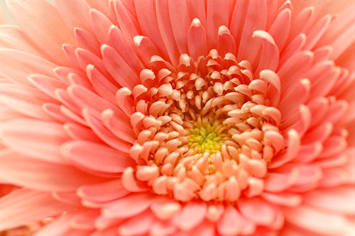 ガーベラ・うたた寝(ピンク・八重)