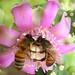 Bee Love (3312B)