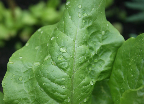 buttercrunch leaf - drops