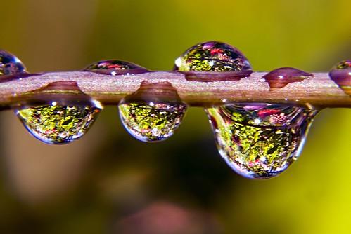 Dahlia Drops