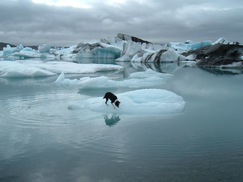 Border Collie on an Iceberg