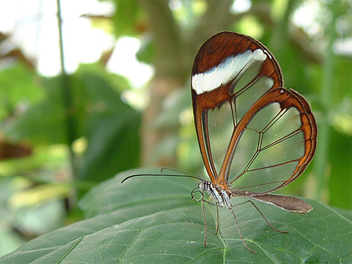 transparent butterfly 02