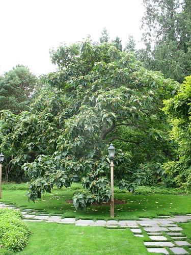 شجرة الأميرة  أو شجرة البولونيا