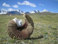 Wild sheep's horn