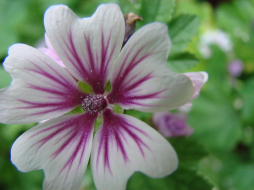 Beautiful malva sylvestra as the garden grows for Different kinds of plants