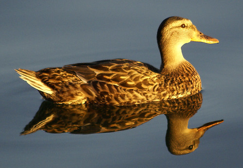 Reflective Ducky