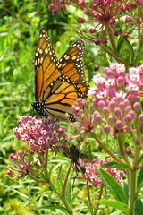 Monarch butterfly on pink wildflowers