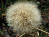 Fluffy dandelion again