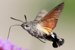 "close-up ""Macroglossum stellatarum"" - kolibrievlinder photo by bugman11"