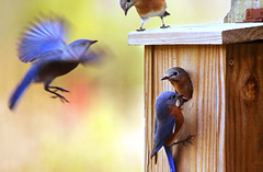 Four Little Blue Birds photo by Virginia Bailey Photography