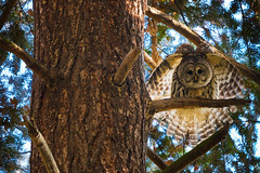 Barred Owl in Seattle's Washington Park Arboretum photo by Lee Rentz